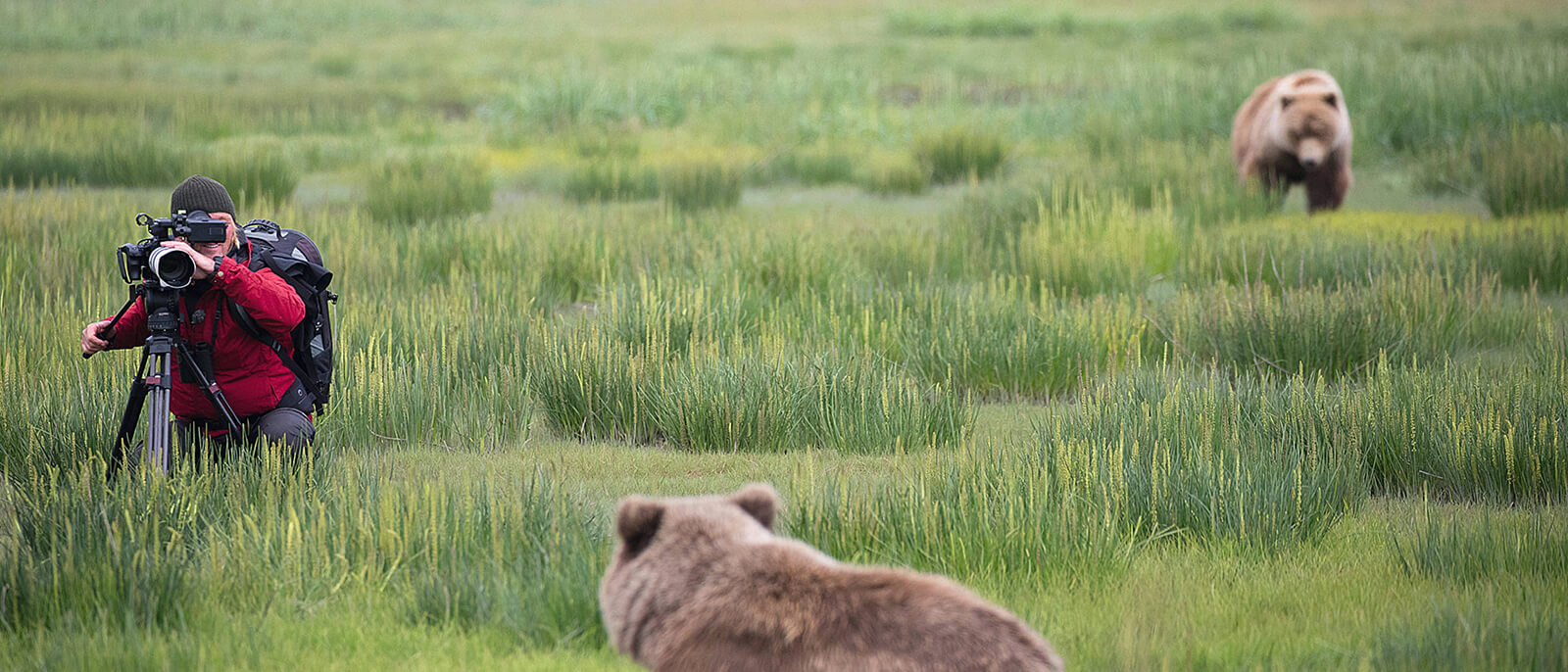 andreas kieling fotografiert oder filmt baeren im hohen grass