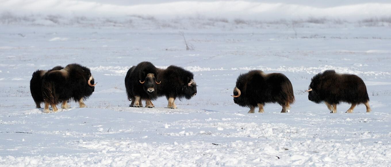 Moschusochsen im Schnee