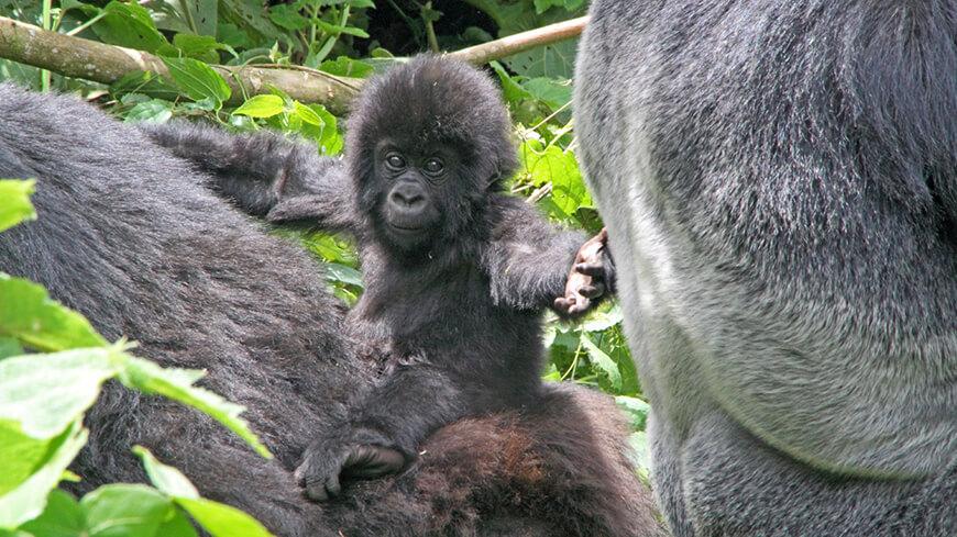 gorilla baby im wald